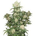 Feminized Blueberry Cannabis Seeds Seedking.com
