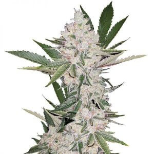 Strawberry Cough Seeds