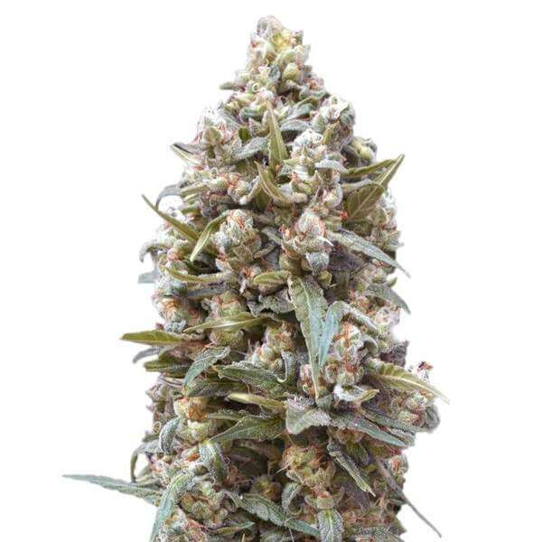 GSC Seeds (Girl Scout Cookies)
