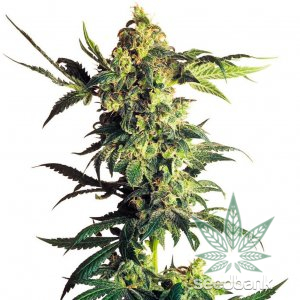 feminized cbd durban poison seeds