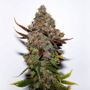 Bubba Kush Seeds   Seed King   Premium Cannabis Seeds