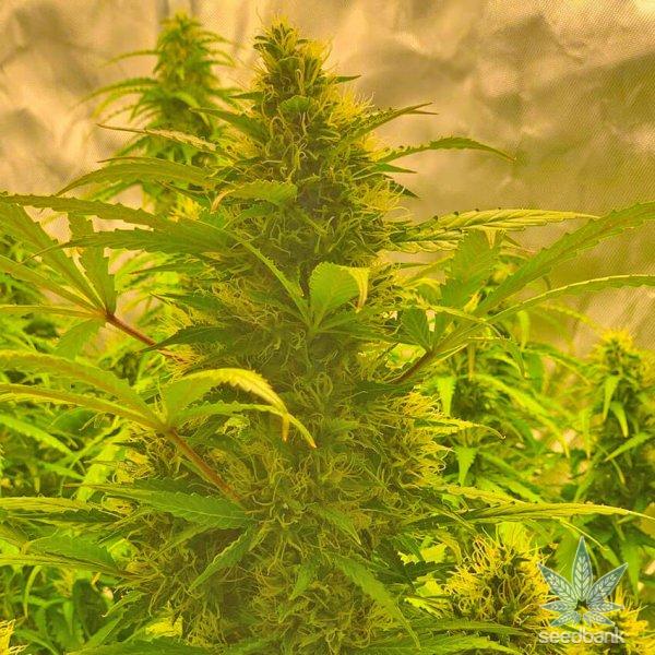 nl5 strain seeds