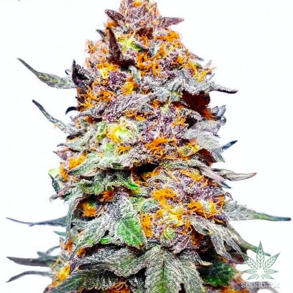 grand daddy purps seeds
