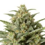 CBD White Widow Seeds - Feminized Cannabis Seeds