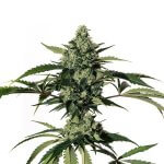 HiLo Seeds high CBD seeds