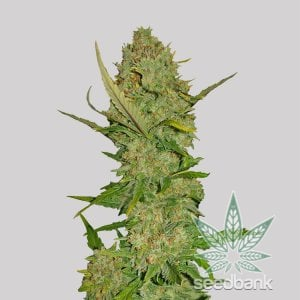 pineapple express seeds cannabis seed bank