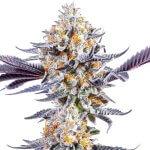dosido strain dosidos seeds