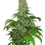 Big Bud Seeds | Feminized Cannabis Seeds