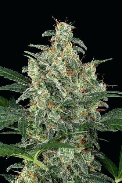 gold-leaf-cannabis-seeds-seedking.com