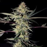 SFV Kush seeds | San Fernando Valley Kush Seeds