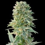 cbd jack herer seeds usa