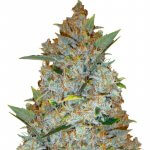 feminized kali mist seeds usa