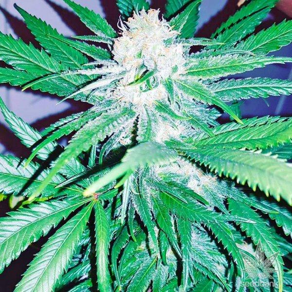 mk ultra weed strain seeds