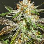 bruce banner seeds - fast flowering cannabis seeds
