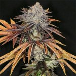 buy alien technology seeds