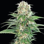 early skunk seeds early skunk strain usa