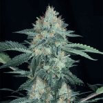 Great White Shark Seeds Feminized GWS Strain USA