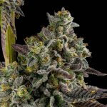 feminized koshoer kush seeds usa