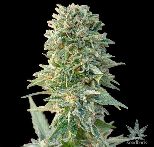 CBD-jack-herer-seeds-usa