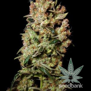 agent_orange_cannabis_seeds_seedking.com