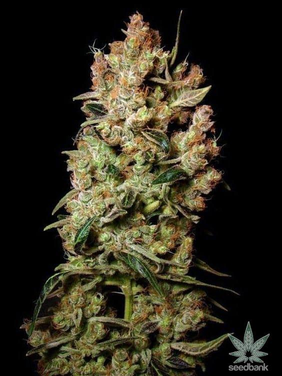 agent_orange_cannabis_seeds_seedking.com