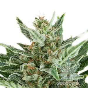 amnesia-seeds-seed-king