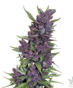 auto purple kush feminized