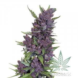 auto purple kush feminized