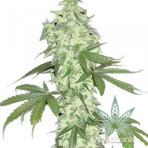 autoflowering-lowryder-seeds-feminized