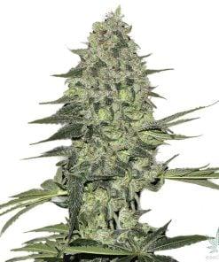 bubba-kush-seeds