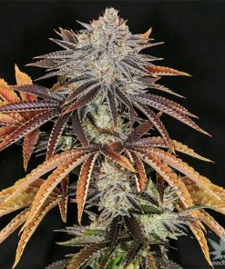 buy-alien-technology-seeds