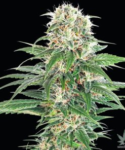 early skunk seeds usa