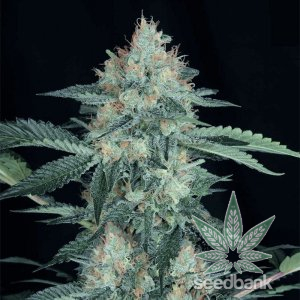 buy-great-white-shark-seeds-usa