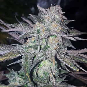 buy-white-widow-auto-feminized