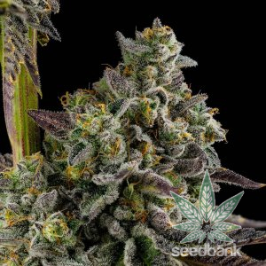 buy_feminized_koshoer_kush_seeds_usa