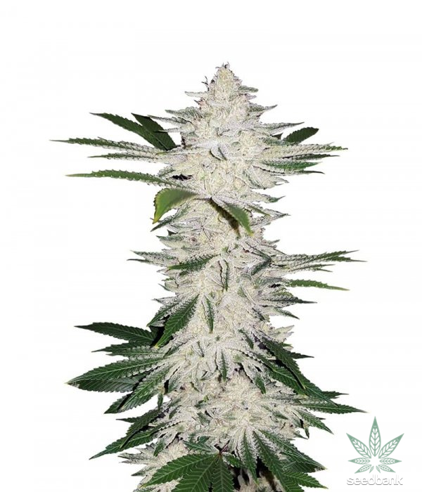 chemdawg-seeds
