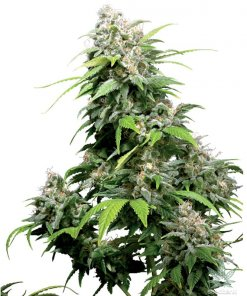 cinderella-99-seeds-cindy-99-c99