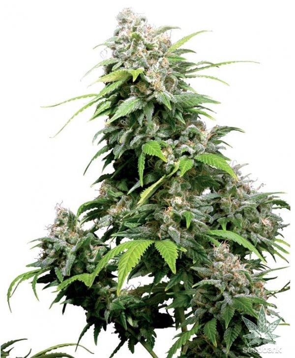 cinderella-99-seeds-cindy-99-c99