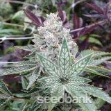 do-si-dos-seeds-online-seedking.com