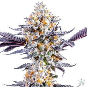 do-si-dos-seeds-usa-seedking.com