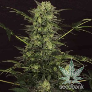 MK Ultra strain seeds usa