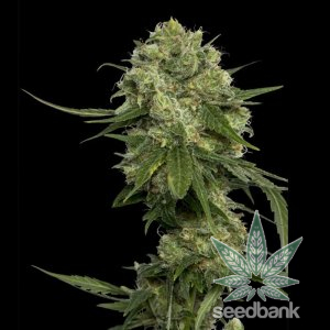 feminized-chocolope-cannaibs-seeds-1