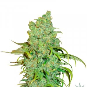feminized-chocolope-seeds