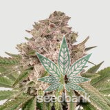 feminized-gorilla-glue-#4-seeds-gg4-strain-usa-1