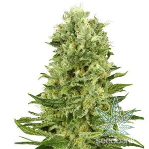 feminized green crack cannabis seeds