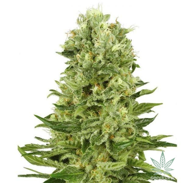feminized green crack cannabis seeds