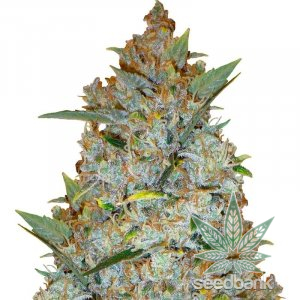 feminized-kali-mist-seeds-usa