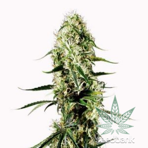 feminized-super-silver-haze-seeds-1_grande