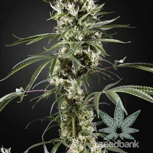 feminized--super-silver-haze-seeds-2_grande