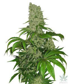 feminized_big_bud_cannabis_seeds_usa_seedking.com_2